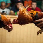 Bermain Sabung Ayam di S1288