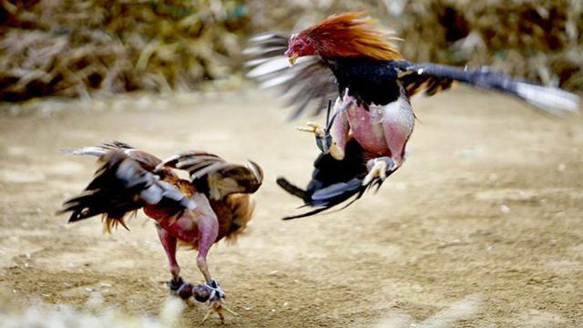 Ciri-Ciri Situs Judi Sabung Ayam Terpercaya