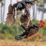 Bermain Mudah dan Aman Di Judi Sabung Ayam Online